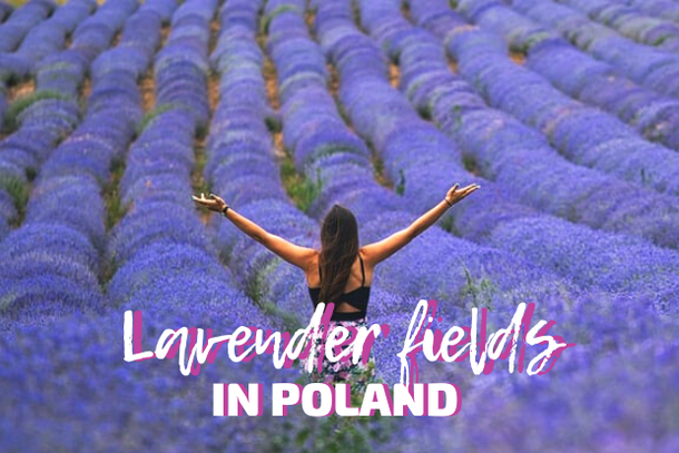 Lavender fields in Poland: where can you see magical lavender plantations near Warsaw, Wroclaw and Krakow?