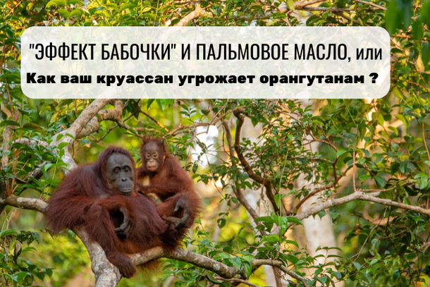 Эффект бабочки и пальмовое масло, или как ваш круассан угрожает орангутанам