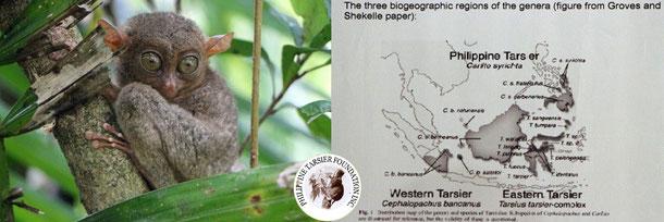 Der Tarsier oder auch philippinische Koboldmaki und die Karte seines Verbreitungsgebietes!