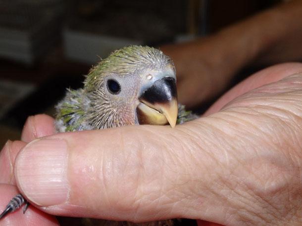 福岡県手乗りインコ小鳥販売店ペットショップミッキンに手乗りコザクラインコのヒナが仲間入りしました。