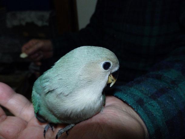 福岡県手乗りインコ小鳥販売ペットショップミッキンに手乗りジャンボコザクラインコが仲間入りしました。
