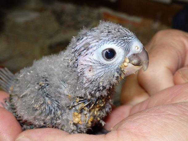 福岡県手乗りインコ小鳥販売ペットショップミッキンに手乗りウロコインコのヒナが仲間入りしました。