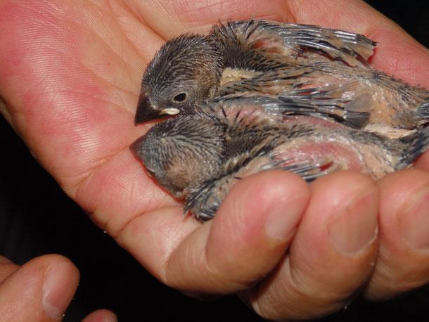 福岡県手乗りインコ小鳥販売店ペットショップミッキンに手乗り文鳥のヒナが仲間入りしました。