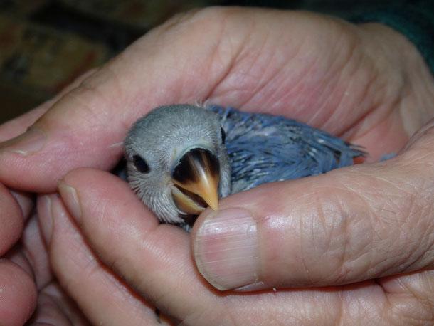 福岡県手乗りインコ小鳥販売ペットショップミッキンに手乗りブルーコザクラインコのヒナが仲間入りしました。