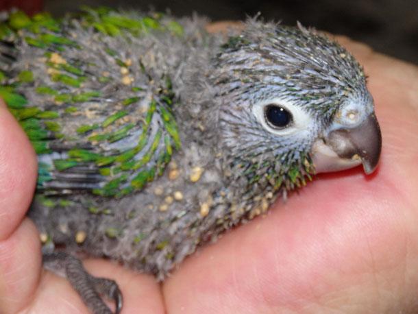 福岡県手乗りインコ小鳥販売店ペットショップミッキンにウロコインコが仲間入りしました。