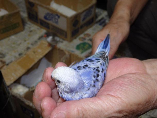 福岡県手乗りインコ小鳥販売店ペットショップミッキンに手乗りオパーリンブルーセキセイインコが仲間入りしました。