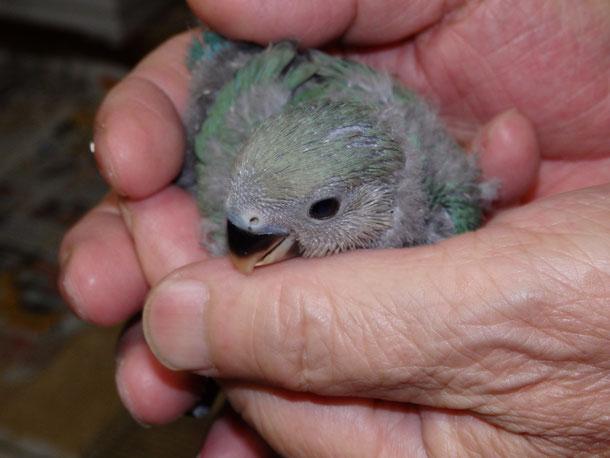 福岡県手乗りインコ小鳥販売ペットショップミッキンに手乗りコザクラインコのヒナが仲間入りしました。