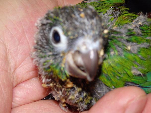 福岡県手乗りインコ小鳥販売店ペットショップミッキンに手乗りウロコインコが仲間入りしました。
