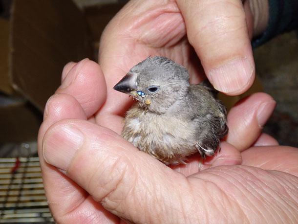 福岡手乗りインコ小鳥販売店ペットショップミッキン手乗りコキンチョウの手乗りヒナが仲間入りしました。