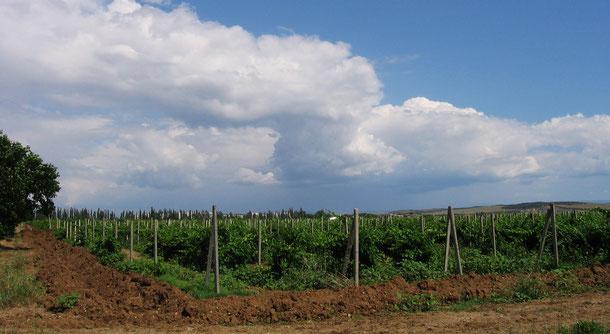 Виноградники Магарача