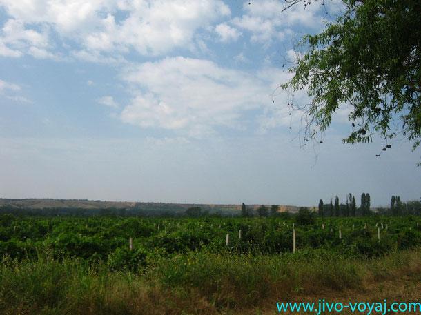 Вилино, виноградники, виноградники магарача