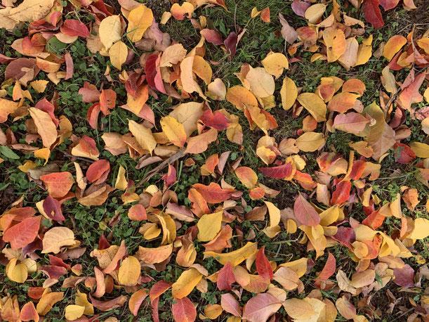 公園の落ち葉。赤や黄色で美しいカーペットができていました!