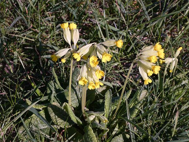 Abb. 3 Blüten einer Dolde zeigen meist alle auf die gleiche Seite. Jungen Blätter sind leicht eingerollt. / Foto: Brigitte Steinke - NABU