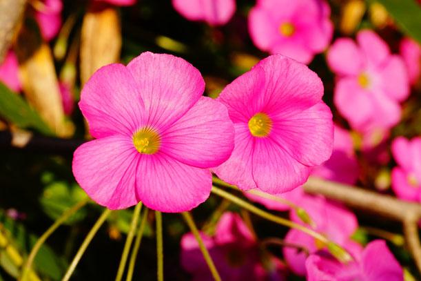 道端にさくピンクの花。土が良いのか花が大きくて雑草にはみえません。