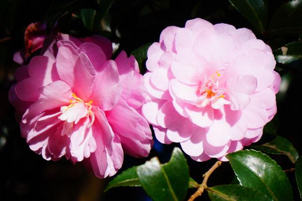 ピンクの花がたくさん咲いていました。