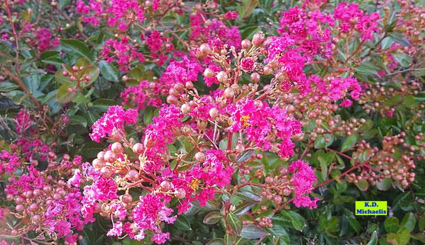 Nahaufnahme einer wunderschön pink blühenden Lagerstroemia / Kreppmyrte / Kräuselmyrte / Flieder des Südens von K.D. Michaelis