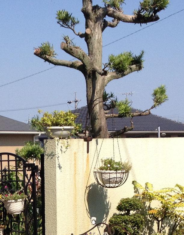 お庭作成のご依頼を頂いたときのマキの木