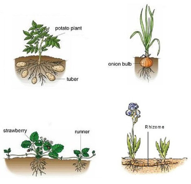 Functions of vegetative propagation asexual reproduction