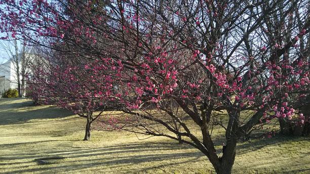 梅の花が咲きかけのところ強い寒さにあたって、少し枯れてしまいました。ここ最近、梅の花がなかなかきれいに咲かず、残念です。