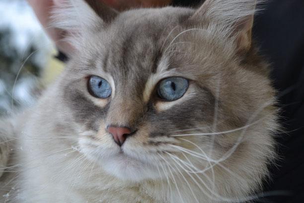 Il Gatto Siberiano Neva Masquerade Silkasib Cattery