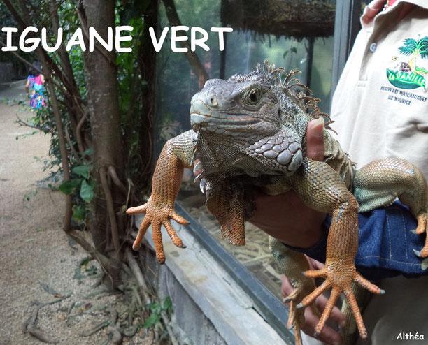 Iguane Vert / Crédit Photos: Althéa