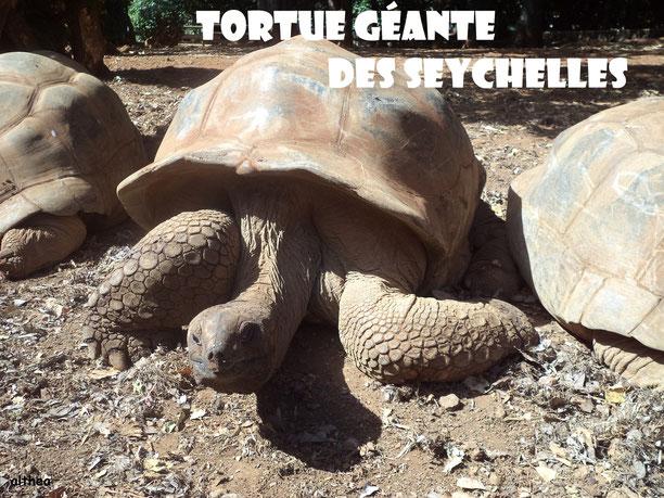 Tortue Géante Des Seychelles / Crédit Photo: Althea