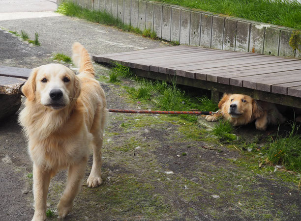 渋峠ホテルの看板犬、インディー君とマーカス君
