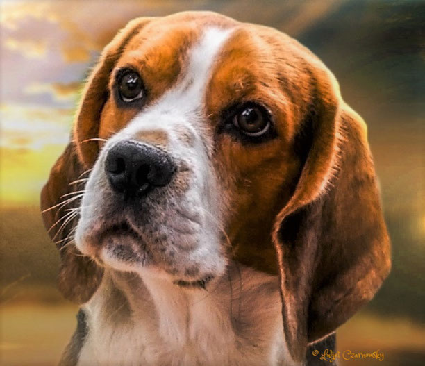 Little King Arthur a Wisp of my Desire, Bagio Boss Gintarinė Fortūna * Lord James, Czarnowsky Beagle, Little King Arthur, Bagio Boss Gintarine Fortuna * Lord James *, Czarnowsky , Beagle, Beagle, Beagle, Beagle, Beagle