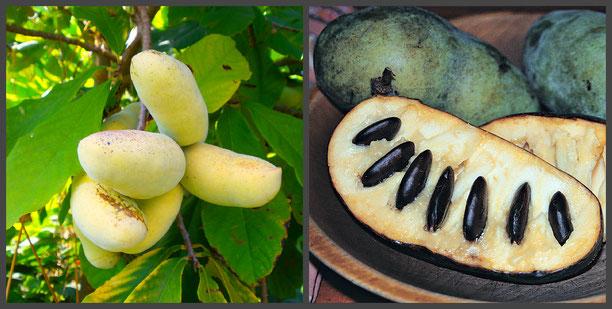 Саженцы Северного Банана,Азимина