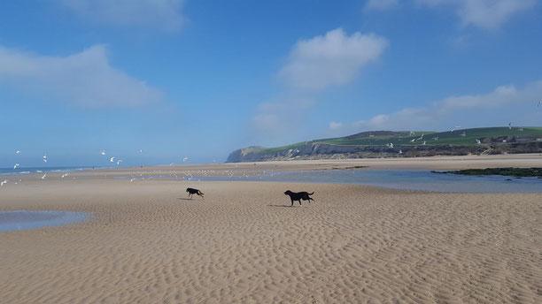Juli und Charly auf Möwenjagt am Strand von Wissant. Das Sabbatjahr wirkt wie ein Jungbrunnen auf unsere alte Hundedame