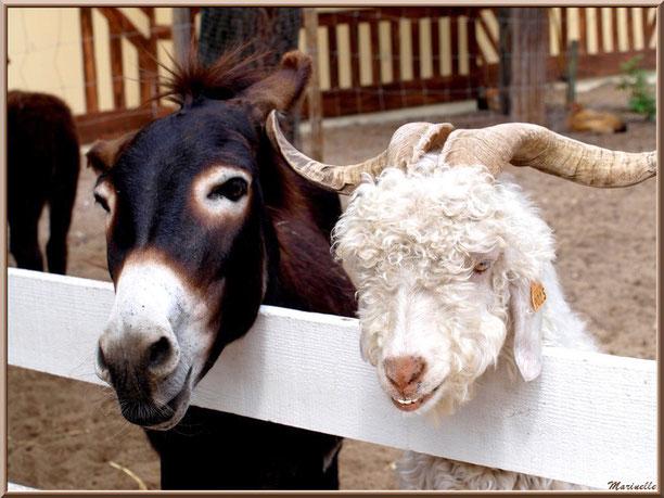 chèvre Angora et âne, Parc de la Coccinelle, mini-ferme à Gujan-Mestras, Bassin d'Arcachon (33)