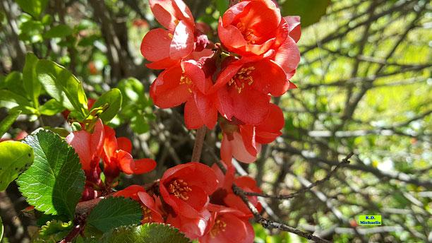 Leuchtend rote Blüten einer Zierquitte von K.D. Michaelis