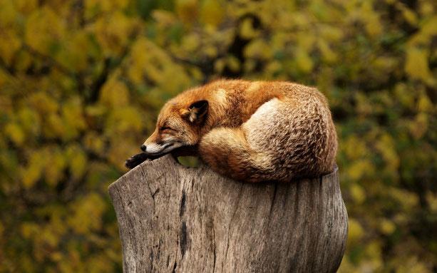 Fuchs beim Schlafen