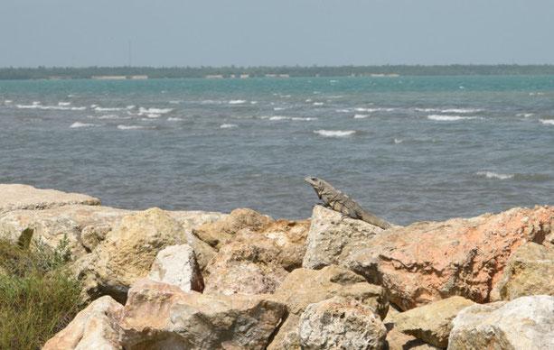Meerechse im Hafen von Old Belize