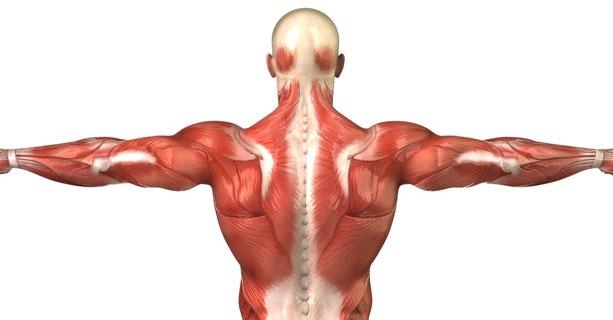 Illustration der Rückenmuskulatur