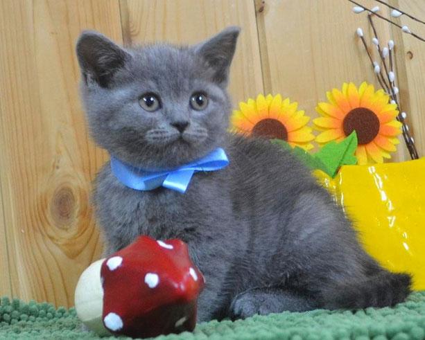 голубой британский котенок