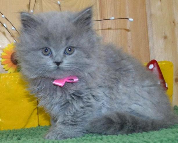 длинношерстный британский котенок голубого окраса питомник Массон-клуб