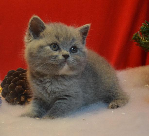 Британские котята окраса циннамон продажа
