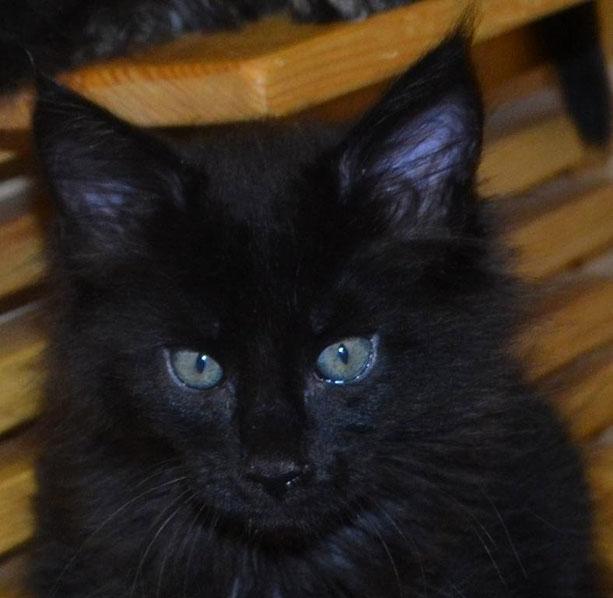 куплю черного котенка мейн кун