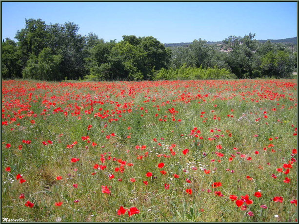 Champs aux multiples fleurs (coquelicots, marguerites...) dans la campagne du Lubéron (84), ici aux environs de Roussillon