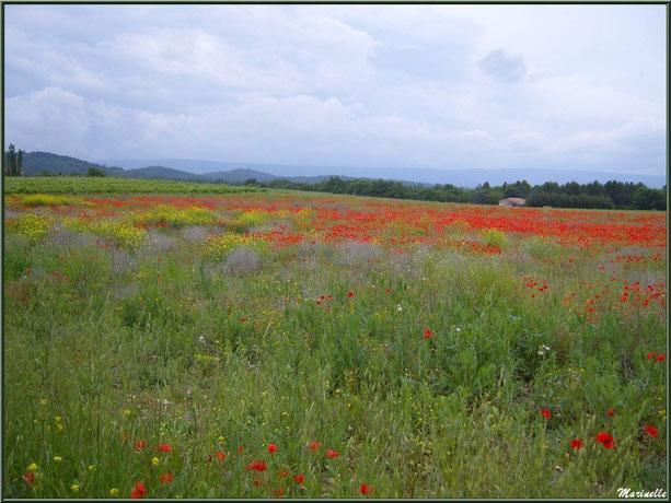 Champs aux multiples fleurs dans la campagne du Lubéron (84), ici aux environs de Roussillon
