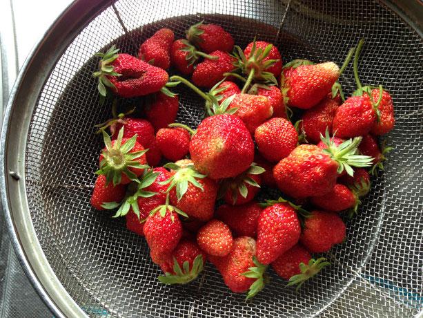庭のイチゴ