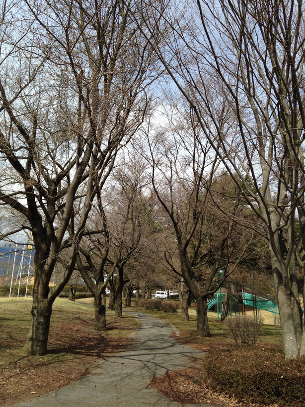 雪窓公園の桜並木、4月4日現在