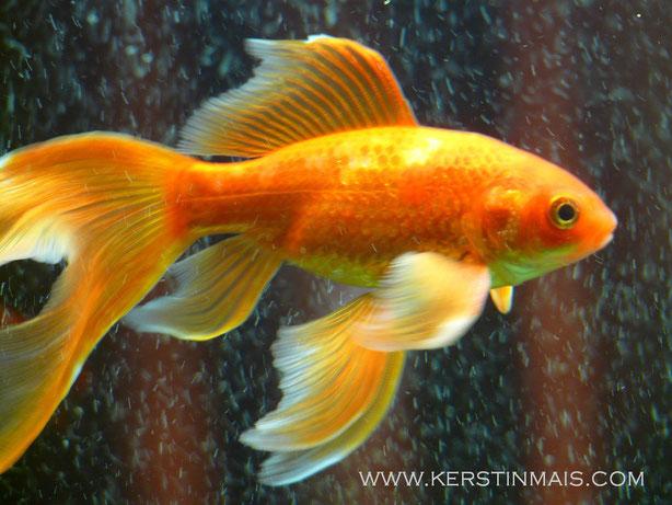 Schleierschwanzgoldfisch