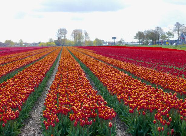 Holland Tulpenfelder bei Lisse