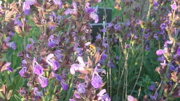 Bourdon dans Salvia lavandulifolia, la sauge-lavande.