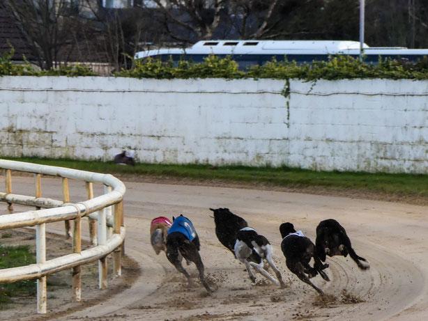 Windhunde im Kampf um die Plätze