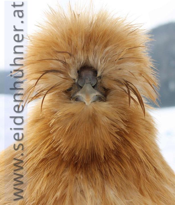 seidenhühner winter seidenhuhn kärnten züchter seidenhühner