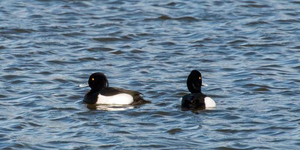 Männliche Reiherenten (Aythya fuligula) am Laacher See (Foto: Rea Brinkhoff)