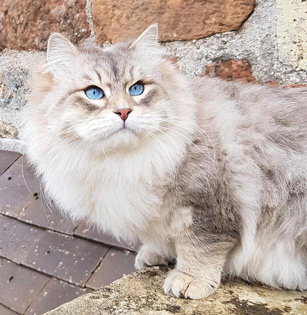 chat sibérien Aquitaine